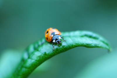 Ubuntu 10.10 wallpaper Ladybird on Piptanthus leaf